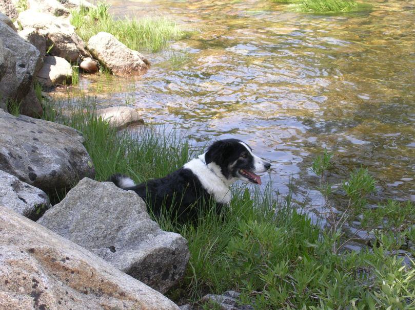 cute-border-collie-dog