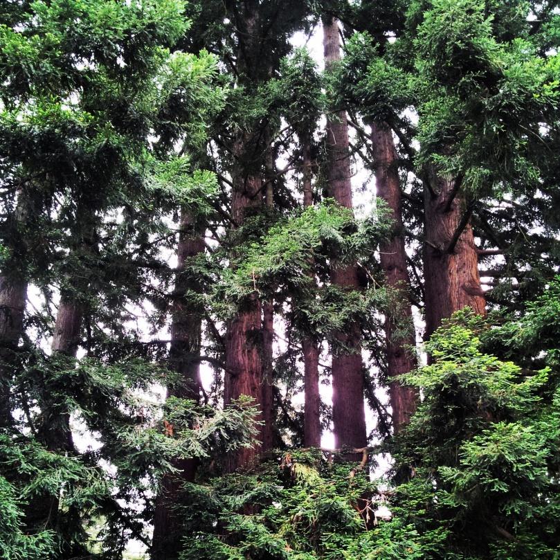 UCSC trees